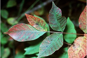 Poison Sumac: Credit USDA